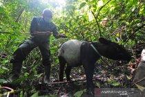 Pelepasliaran satwa liar di Taman Nasional Kerinci Seblat