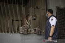 Anies Baswedan mengecek langsung harimau yang terpapar COVID-19