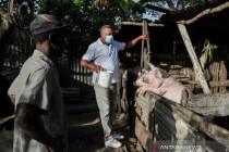 Demam babi Afrika di Dominika, puluhan ribu babi akan dimusnahkan