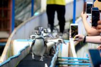 Thailand lockdown, penguin kangen pengunjung