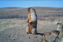 Mongolia berlakukan larangan berburu marmut selama 3 tahun