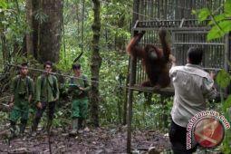 Lima orangutan dilepasliarkan ke Kehje Sewen