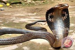 Pemuda di Depok tewas dipatuk King Cobra