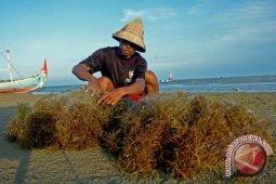 Melesatkan Rumput Laut Nusantara ke Tingkat Global