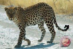 Petani di Sumsel diterkam macan tutul hingga tewas