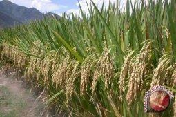 Memanen padi tanpa asap di gambut Lamandau