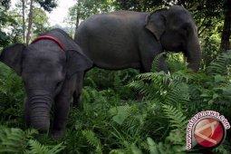 Gajah Masih Berkeliaran di Permukiman Warga Subulussalam