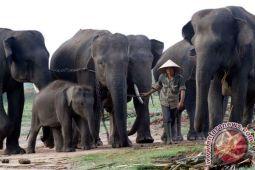 Truk pembawa gajah terguling di Tanggamus