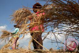 Artikel : Resah petani jelang panen raya