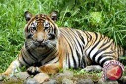 Pekerja tewas diterkam harimau di Riau