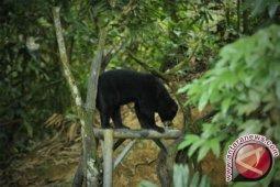 Sepasang Beruang Madu diserahkan ke lembaga konservasi