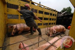 SBD datangkan 4.800 ekor babi/tahun dari Lombok
