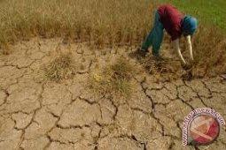 300 haktare lahan pertanian di Sulut alami kemarau
