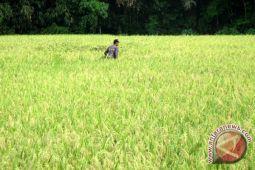 Mentan dorong Buton Utara perluas padi organik