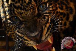 Seekor macan tutul dibunuh karena serang nenek hingga tewas di India
