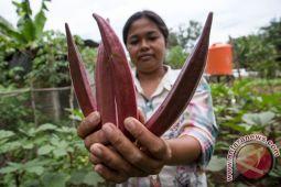 Desa di Sulut tekan angka kunjungan puskesmas berkat taman obat