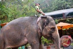 Sebaiknya jangan menunggang gajah hindari terinfeksi penyakit