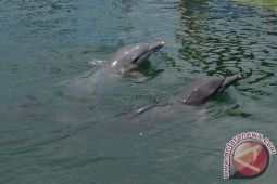 21 lumba-lumba mati terdampar