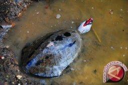Kalsel Punya Kura-kura Paling Terancam di Dunia