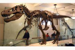 Trix, T.rex asli usia 67 juta tahun, dipamerkan di Paris