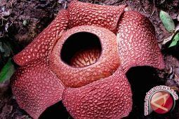Dua Rafflesia Gadutensis mekar di Bengkulu Utara