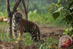Tim gabungan masih lacak harimau sumatera penerkam warga Riau