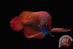 Supaya harga naik berlipat, KKP minta pengekspor ikan hias manfaatkan raiser