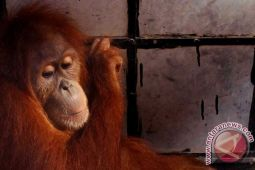 Peneliti: Populasi orangutan Kaltim tersisa enam ribu