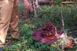 Warga temukan bunga bangkai mekar di Cianjur