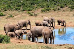 Perburuan gajah menurun di Afrika
