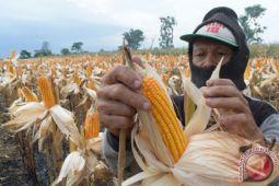 Peternak terdampak tingginya harga jagung pakan