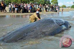 Mengapa paus sering terdampar?