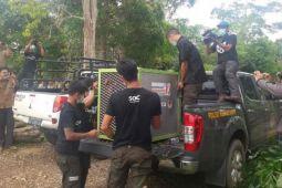 Tiga orangutan dilepasliarkan di Taman Nasional Betung Kerihun