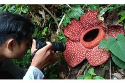 Rafflesia gadutensis mekar sempurna di hutan Boven Lais