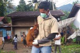 BKSDA evakuasi orangutan diselamatkan warga