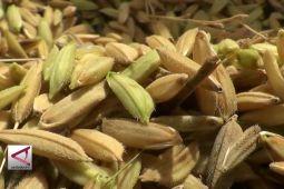246 Ribu hektare sawah di Jateng panen padi
