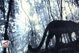 6 Macan Tutul Jawa terekam kamera trap TNMB