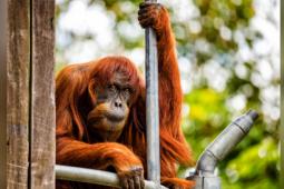 Puan si orangutan tertua di dunia mati
