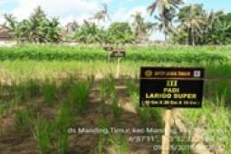 Teknologi largo super terbukti tingkatkan produktifitas padi