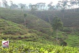 Desa wisata di kebun teh Pagilaran