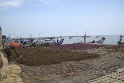 <p>Pengelolahan rumput laut pascapanen di Kabupaten Serang. Produksi rumput laut jenis cotoni di Kabupaten Serang, sampai triwulan III tahun 2018 mencapai 17 ribu ton, sehingga bisa menjadi penyumbang produksi terbesar komoditas itu di tingkat Provinsi Banten<br></p>