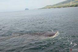 Sekumpulan hiu bermunculan di pesisir Pantai Peninsula
