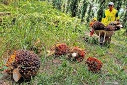 Harga TBS kelapa sawit di tingkat petani di Labusel masih rendah