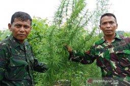 TNI temukan ladang ganja di Nagan Raya