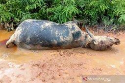 Kematian ternak kerbau di Nagan Raya akibat serangan penyakit ngorok
