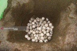 Kelompok Konservasi Malumkarta lindungi 23 sarang penyu