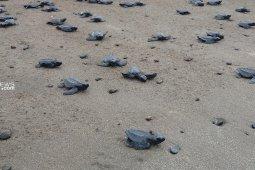 Warga Malumkarta lepas 1.292 tukik penyu ke laut