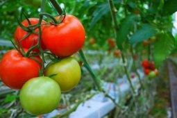 Tomat, buah seksi menggoda hati berjuta kontroversi