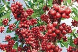 Desa Pagur hasilkan 10 ton kopi Mandailing per bulan