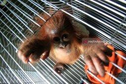 Warga Abdya serahkan satu ekor anak orangutan ke  BKSDA